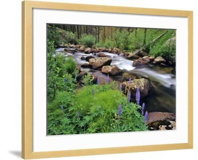 Lupine Along Jacobsen Creek in the Pioneer Range of Montana, USA-Chuck Haney-Framed Photographic Print