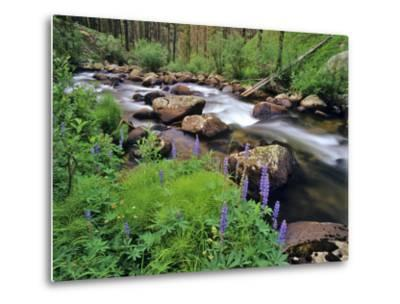 Lupine Along Jacobsen Creek in the Pioneer Range of Montana, USA-Chuck Haney-Metal Print