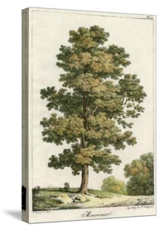 A Sweet Chestnut Tree--Stretched Canvas Print