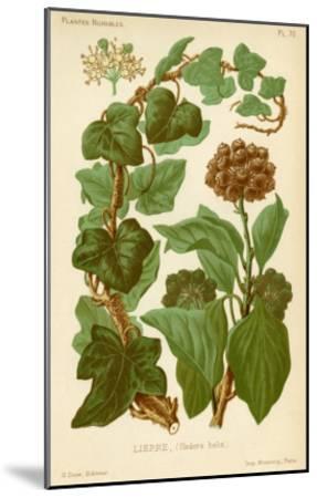Hedera Helix Ivy--Mounted Giclee Print