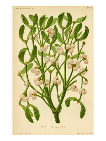 Mistletoe (Gui)--Framed Giclee Print
