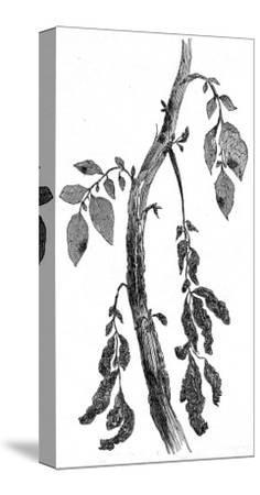 The Irish Potato Famine. View of Diseased Potato Stem--Stretched Canvas Print