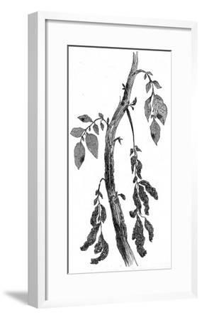 The Irish Potato Famine. View of Diseased Potato Stem--Framed Giclee Print