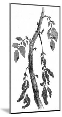 The Irish Potato Famine. View of Diseased Potato Stem--Mounted Giclee Print