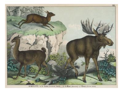Three Types of Ruminant: Llama, Musk Deer, and Elk--Stretched Canvas Print