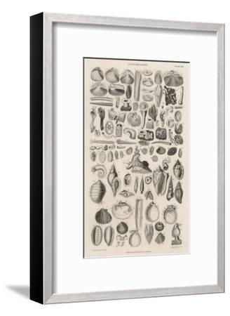 Variety of Sea Shells--Framed Giclee Print