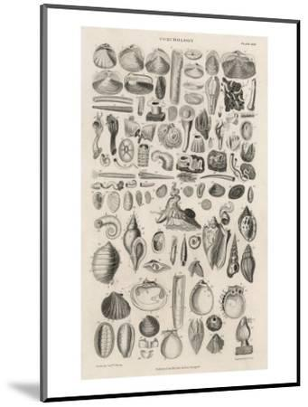 Variety of Sea Shells--Mounted Giclee Print