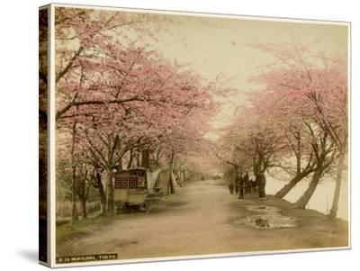 Japanese Cherry Blossom in Mukojima Tokyo Japan--Stretched Canvas Print