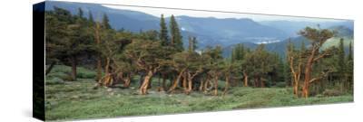 Usa, Colorado, Bristlecone Pine Tree on the Landscape-Jeff Foott-Stretched Canvas Print