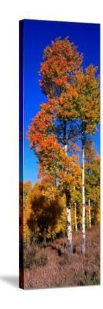 Aspens in Beautiful Autumn Color-Jeff Foott-Stretched Canvas Print