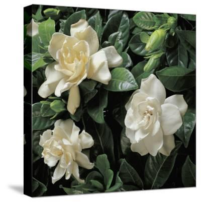 Close-Up of Cape Jasmine Flowers (Gardenia Jasminoides)-G^ Cigolini-Stretched Canvas Print