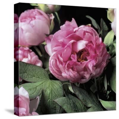 Close-Up of Common Peony Flowers (Paeonia Officinalis)-G^ Cigolini-Stretched Canvas Print
