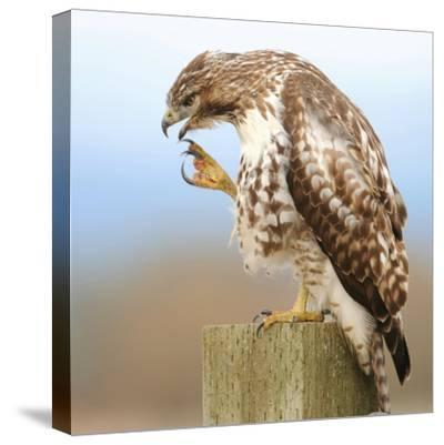 Red-Tailed Hawk-Rebecca Richardson-Stretched Canvas Print