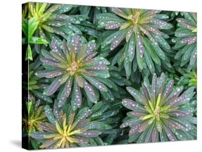 Water Drops on Plant with Spirally Arranged Leaves-Andrew Castellano-Stretched Canvas Print