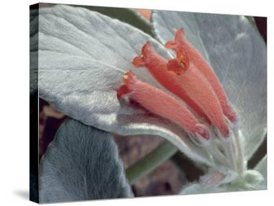 Close-Up of Rechsteineria Leucotricha Flowers-C^ Dani-Stretched Canvas Print