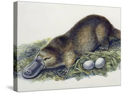 Close-Up of a Female Duck-Billed Platypus with Two Eggs (Ornithorhynchus Anatinus)--Stretched Canvas Print