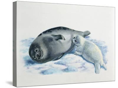 Close-Up of a Female Harp Seal Feeding its Cub (Phoca Groenlandica)--Stretched Canvas Print