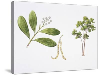 Hickory Wattle (Acacia Mangium) Plant with Flower, Leaf and Fruit, Illustration--Stretched Canvas Print