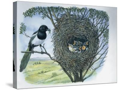 Close-Up of an Australian Magpie Holding an Insect for its Youngs--Stretched Canvas Print