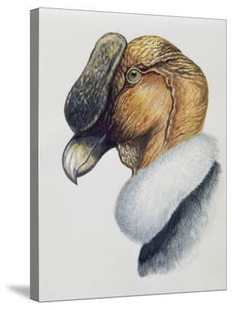 Close-Up of an Andean Condor (Vultur Gryphus)--Stretched Canvas Print