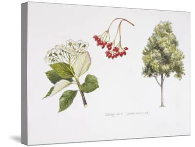 Whitebeam (Sorbus Aria ) Plant with Flower, Foliage and Fruit, Illustration--Stretched Canvas Print