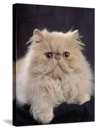 Close-Up of a Cream Persian Cat-D^ Robotti-Stretched Canvas Print