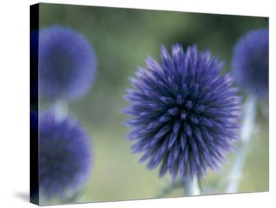 Close-Up of a Sea Holly Flower (Eryngium Maritimum)-V^ Giannella-Stretched Canvas Print