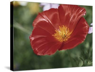 Close-Up of a California Poppy Flower (Eschscholzia Californica)-A^ Moreschi-Stretched Canvas Print