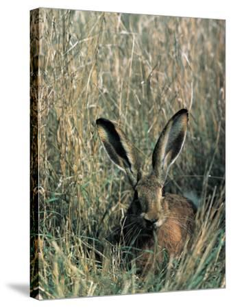 Close-Up of a Brown Hare in Tall Grass (Lepus Europaeus)--Stretched Canvas Print