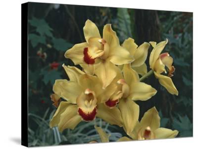 Close-Up of Cymbidium Hybrid Orchid Flowers-C^ Sappa-Stretched Canvas Print