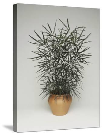 Close-Up of a False Aralia Plant (Dizygotheca Elegantissima)-C^ Dani-Stretched Canvas Print