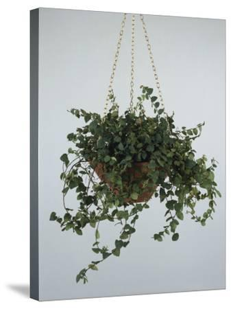 Close-Up of a Climbing Fig Plant Hanging (Ficus Pumila)-C^ Dani-Stretched Canvas Print