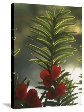 Close-Up of the Fruit of a Yew Tree (Taxus Baccata)-C^ Sappa-Stretched Canvas Print