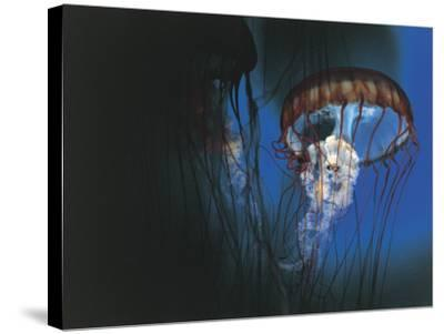 Close-Up of Jellyfish Underwater--Stretched Canvas Print