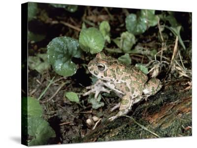 Close-Up of a Green Toad (Bufo Viridis)-S^ Montanari-Stretched Canvas Print