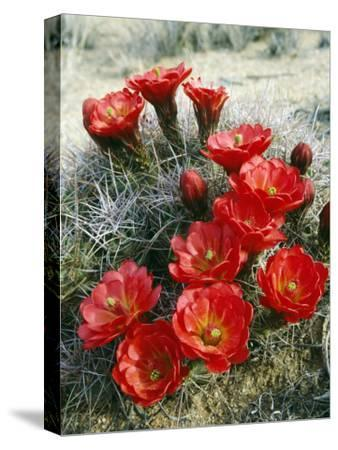 Claret Cup Cactus (Echinocereus Triglochidiatus) Flowers Blooming, Southwest, Usa-Jeff Foott-Stretched Canvas Print