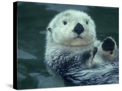 Sea Otter Floats on Back with its Paws Raised Up Out of the Water-Jeff Foott-Stretched Canvas Print