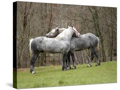 New Hampshire, North Conway, Two Dutch Draft Horses-Jamie Gemmiti-Stretched Canvas Print