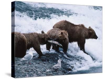 Mother and Two-Year-Old Grizzly Bear Cubs Eating Fish in a Stream-Jeff Foott-Stretched Canvas Print