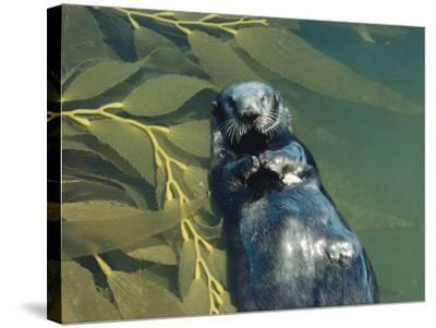 Sea Otter Lays on Back in Water with Clam on Chest, Surrounded by Kelp-Jeff Foott-Stretched Canvas Print