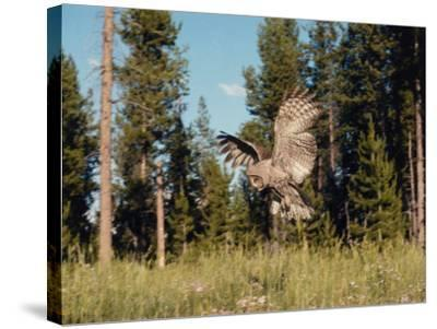 Great Gray Owl in Flight over Field with Trees in the Background-Jeff Foott-Stretched Canvas Print