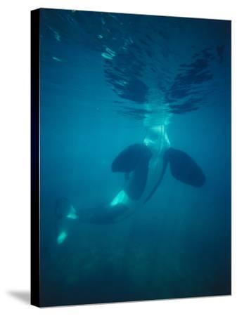 Killer Whale Submerged with Head Above Water-Jeff Foott-Stretched Canvas Print