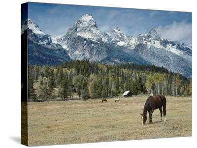 Mountain Looms High as Horses Graze-Jeff Foott-Stretched Canvas Print