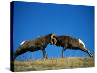 Two Male Bighorn Sheep Butt Heads in an Open Field-Jeff Foott-Stretched Canvas Print