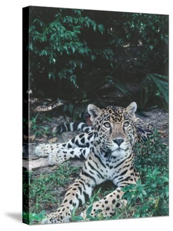 Jaguar Lies on Ground in Tropical Rainforest-Jeff Foott-Stretched Canvas Print