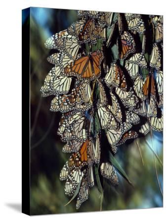 Dozens of Monarch Butterflies Perch on Blades of Grass-Jeff Foott-Stretched Canvas Print