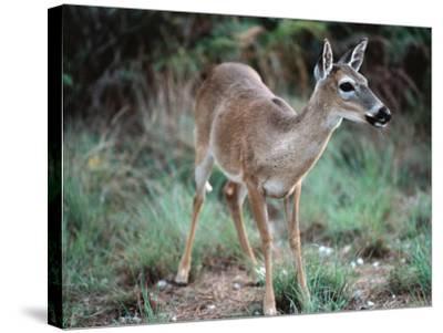 Detail of Key Deer, One of Shortest Breeds of Deer-Jeff Foott-Stretched Canvas Print