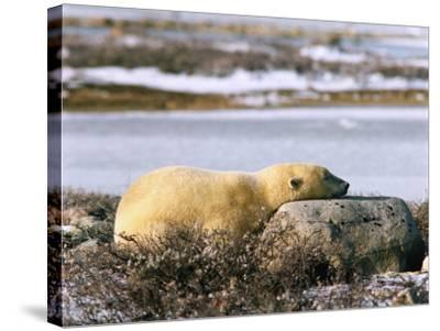 Polar Bear Sleeps with its Head on a Rock-Jeff Foott-Stretched Canvas Print