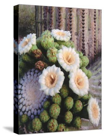 Detail of White and Peach Blooms on Saguaro Cactus-Jeff Foott-Stretched Canvas Print