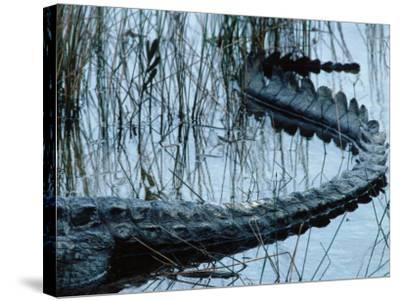 Tail of American Alligator Lies in Shallow Waters-Jeff Foott-Stretched Canvas Print